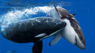 Killer Whale Vs Great White (Full Nature) - Wildlife Documentary | Orca Kills Shark