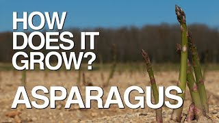 ASPARAGUS   How Does it Grow?