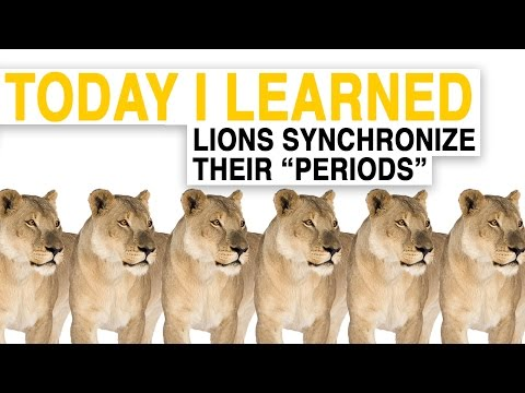 """watch TIL: Female Lions Synchronize Their """"Periods"""" 