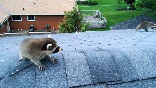 Aggressive Raccoon Rescues Baby.