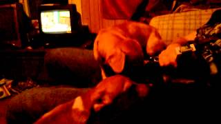 Dog licks mans balls