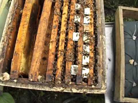 Пчеловодство как сделать отводок на маточник видео