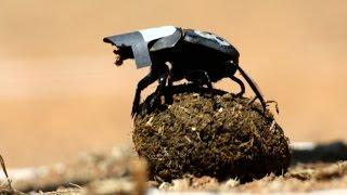 Dung Beetles Navigate Using the Stars