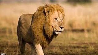 وثائقى | أرض معارك الأسود -عالم الحيوانات المفترسة