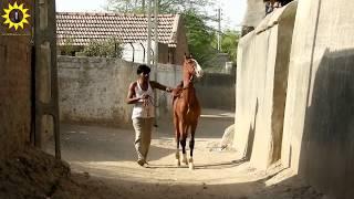 9 month old horse marwari Colt 2017