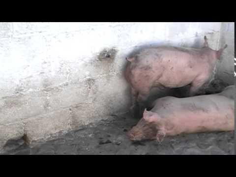 Cerdos Castrados. Rastros Municipales y Bien estar animal