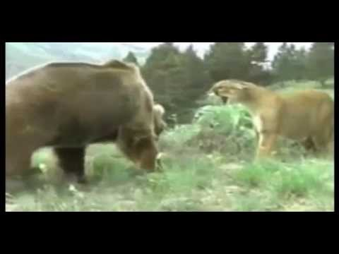 Lion vs Bear Real Fights video