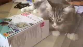 Verrückte Katze im Minikarton