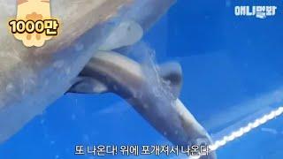 횟집에서 출산하는 돔발상어의 사연..