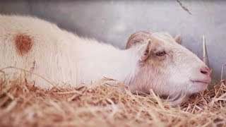 Lonely Goat Who Refuses To Eat Is In Grave Danger Until Someone Special Steps In With A Plan
