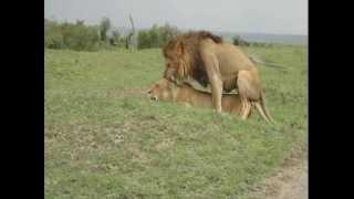 Pareja de leones apareandose - Masai Mara