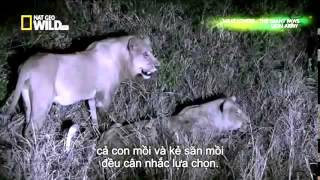 The Lion Army Wildlife Documentary   National Geographic HD