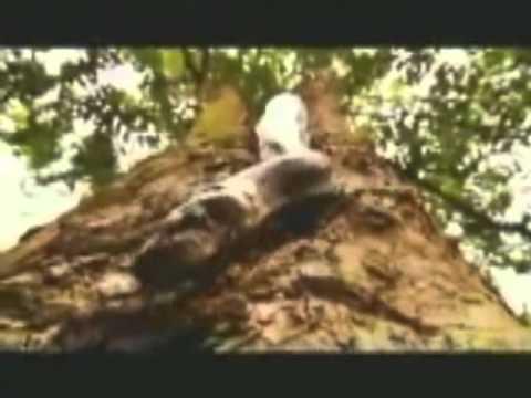 Ataques cobras cobras gigantes cobras atacando cobras maiores cobras do mundo