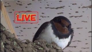 ライブ 2017年 ツバメの子育て Swallow Nesting Live