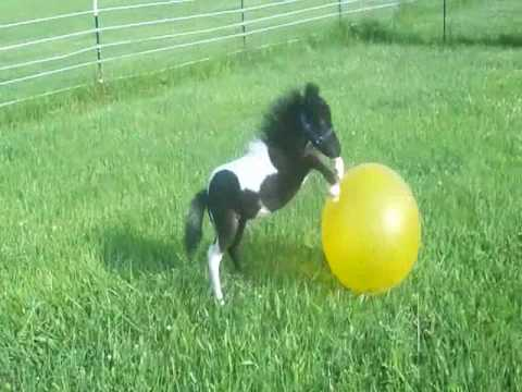 Adorable Beau 2010 black and white Miniature Colt having fun with his ball