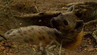 Female Dominance Over Male Hyenas - Animals In Love - BBC