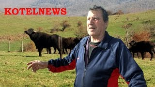 Крави и биволи вилнеят край Котел. KOTELNEWS.com