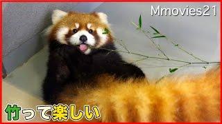 竹で遊ぶ姿が可愛いレッサーパンダ まるみちゃん Red Panda