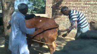 Artificial Insemination of a Cow