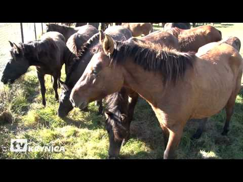 Spęd koni huculskich Regietów