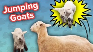 Jumping Goats & Tricycle Chickens! // Funny Animal Compilation