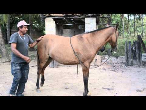 Egua treinada