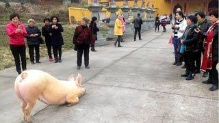 Chú lợn bỏ trốn tới trước chùa quỳ gối hàng giờ cầu quy y & sám hối tội lỗi