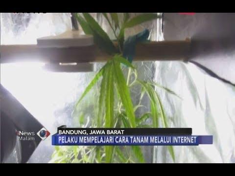 Xxx Mp4 Tanam Ganja Di Dalam Lemari Kos Mahasiswa Di Bandung Dibekuk Polisi INews Malam 06 07 3gp Sex