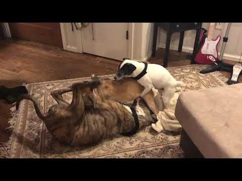 1 legged dog in a 3 dog gay orgy