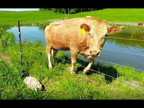 Xxx Mp4 Mother Cow Clearly Asks Man To Rescue Her Newborn Calf 3gp Sex