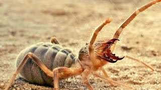 Here's Why Camel Spiders Are The Scariest Creatures On Earth