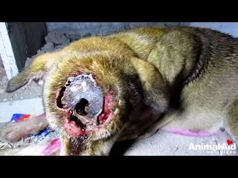 Xxx Mp4 Dog 39 S Skull Exposed From Life Threatening Wound 3gp Sex