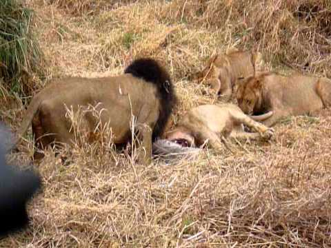 Lions fighting over kill