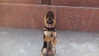 الجزء الثاني من تدريب كلب بلجيكي علي مستوي عالي