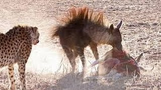 Cheetah Vs Hyena Real Fight  Amazing Videos قتال حتى الموت بين الشيتا والضباع ممنوع ان كان قلبك ضعيف