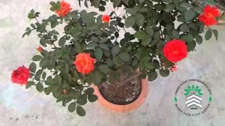 ছাদের বাগানে গোলাপ - ৩ (কমলা-লাল)