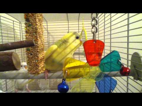 Adorable Baby Budgies Chirping And Playing Xx