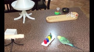 Amazing Tricks By Talented Budgie (Parakeet)