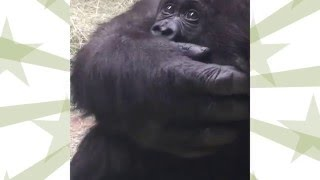 Fort Worth Zoo: Name the Gorilla Augustus,