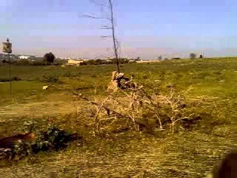 capture de chardonnert Maroc