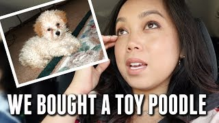 The time we bought a toy Poodle - itsjudyslife