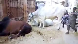 Big Sibbi & Sahiwal Bulls of Kele Wala PIB Colony Karachi   کیلے والوں کے جانور