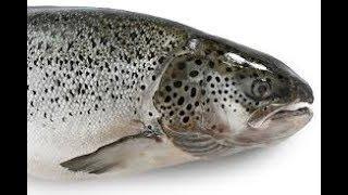 master chef Remote Salmon Fishing