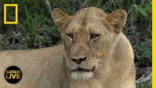 Safari Live - Day 134   National Geographic