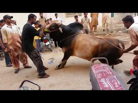 Out of Control Danger Black Bull Qurbani Bakra Eid 2016 Karachi خطرناک بیل کی قربانی