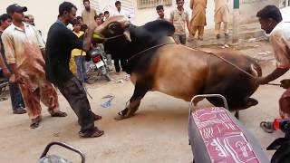 Out of Control Danger Black Bull Qurbani | Bakra Eid 2016 Karachi | خطرناک بیل کی قربانی