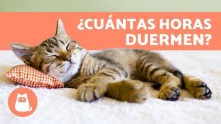¿Cuánto Duerme un Gato al Día? 🐱 - Cachorro, Adulto y Anciano