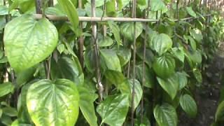 Betel Leaf Farming  Project In Bangladesh .. Grow Betel Leaf Plant