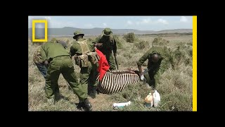 Rare Zebra Gets Second Chance Thanks to Rescuers | National Geographic