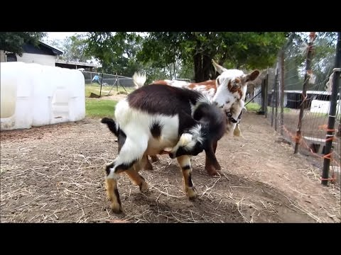 Autofellatio (Oral Self Stimulation) in Male Goats